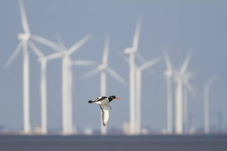 Oystercatcher flying in front of many windmills in the Netherlands. The windmills are dangerous for the birds.