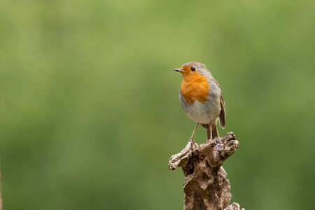 This robin with orange is sitting on a branch with a green background. This very cute bird is sitting alone.