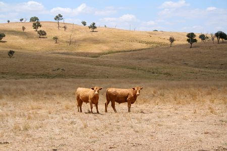 Brown cows on a dry farmland in Australia photo