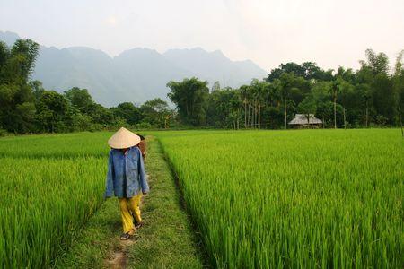 Rice farmer walking through a paddy field