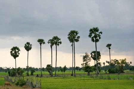 Cambodian rice fields near Angkor Wat photo