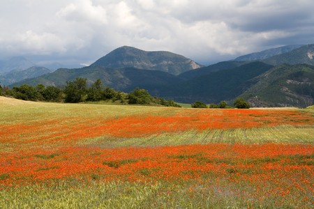 Field of Poppies in the Provence, France photo