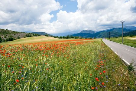Wheat field and flowers in the Provence, France  photo