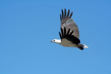 ホワイト腹海ワシ飛行