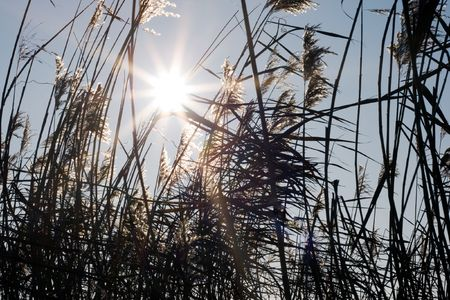 canne: Sole attraverso le canne alte  Archivio Fotografico