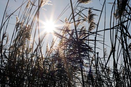 Sunshine through tall reeds