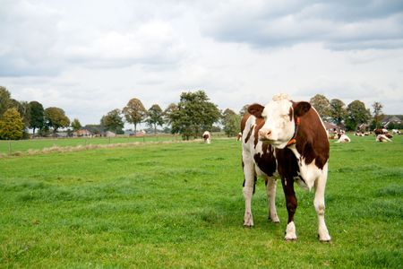 Brown white cow with closed eyes on a farmland  photo