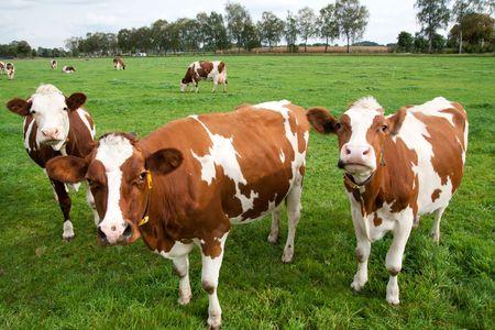 農地に茶色の白い牛 写真素材