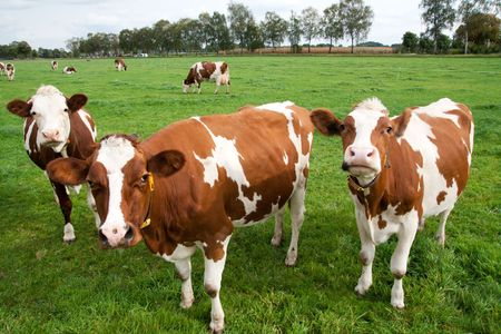 Brown white cows on a farmland