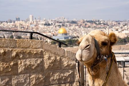 エルサレムの岩のドームの前でラクダ。イスラエル