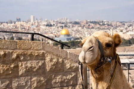 Camel in front of the Dome of Rock in Jerusalem. Israel