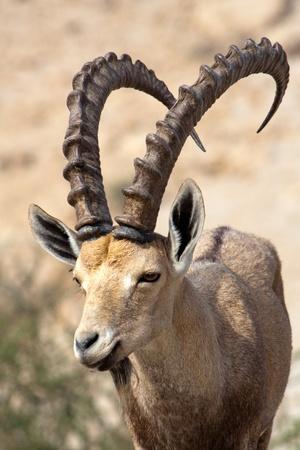 Nubian ibex in Ein Gedi at the Dead Sea. Israel Standard-Bild