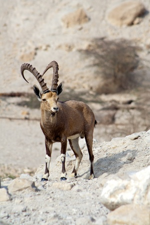 ein: Nubian ibex in Ein Gedi at the Dead Sea. Israel