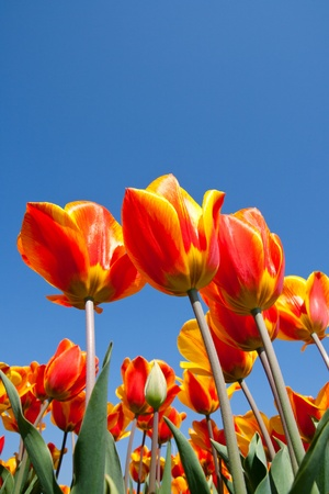 Red yellow tulips in a field in Holland Stock Photo - 9371334