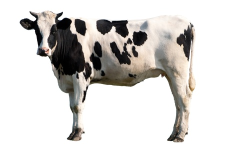 Black and white cow isolated