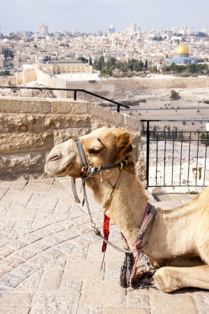 Camel in front of the Dome of Rock in Jerusalem  Israel  photo