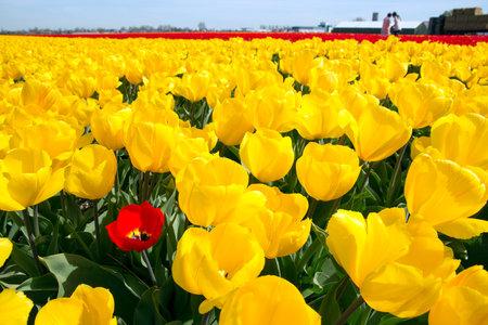 네덜란드에서 노란색 튤립 필드