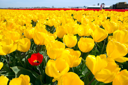 Yellow tulip field in Holland Editorial