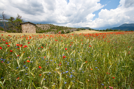 orange county: Wheat field and flowers in the Provence, France Stock Photo