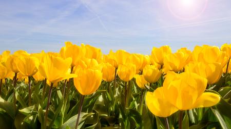 tulip: Sun shining on a yellow tulip field. Stock Photo