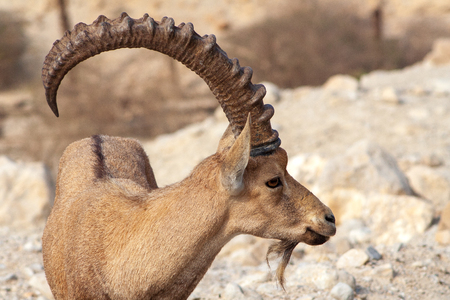 Nubian ibex in the desert near the Dead Sea. Ein Gedi, Israel Stock Photo