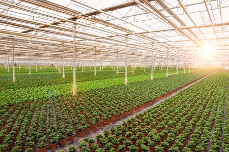Industrial greenhouse with rows of cultivation. Banque d'images