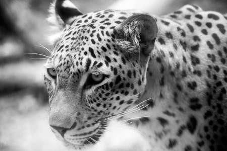 pardus: Leopard - Panthera pardus saxicolor Stock Photo