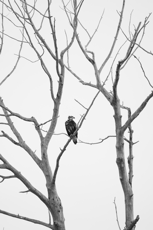 cottonwood canyon: Immature bald eagle perched in a dead cottonwood tree against a total white overcast sky. Image is in Black and White. Duck Creek, Canyon Ferry Reservoir, Montana
