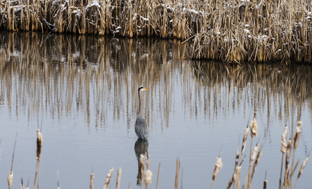 cattails: Great Blue Heron standing in a slough with back turned and looking to the right. Surrounded by cattails in late winter with snow on them. Lee Metcalf National Wildlife Refuge, Montana Stock Photo