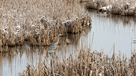 cattails: Great blue heron standing in a slough channel surrounded by cattails in late winter. Lee Metcalf National Wildlife Refuge, Stevensville, Montana