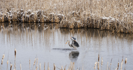 winter escape: Great Blue Heron watching a fish escape with wings spread standing in a slough surrounded by cattails in late winter with snow on them. Lee Metcalf National Wildlife Refuge, MT Stock Photo
