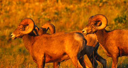 rocky mountain bighorn sheep: Close-up of three bighorn sheep rams on a high grassy open ridge with the setting sun lighting them up like christmas trees. Colors of the rams are vibrant and saturated, in particular the colors of the eyes and horns are very dazzling and luminous. Stock Photo