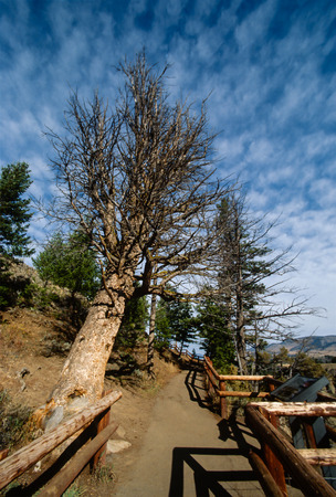 ble: Pathway in Yellowstone national Park lined by trees and pole fencing. One big dead tree snag leans along one side and pathway leads to an interesting ble sky patterned with whispy type clouds. Stock Photo