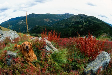 fish eye lens: Large male golden retriever laying down on a high mountain peak in a super wide angle fish eye lens landscape. Dog is grinning into the camera and is laying next to rusty red colored brush with bear grass and rocks. Steep mountainous background on a cloud