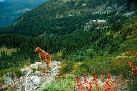 retreiver: Wide angle tight landscape with a large male golden retriever looking over steep mountain terrain on a cloudy fall day.
