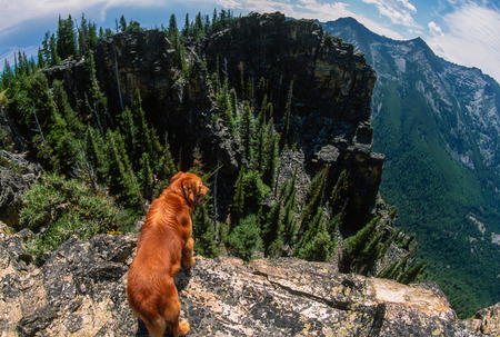 retreiver: Super wide angle fish eye scene of a big golden retriever standing on the edge of huge big Rocky Mountain cliffs in the Bitterroot Mountains, Montana