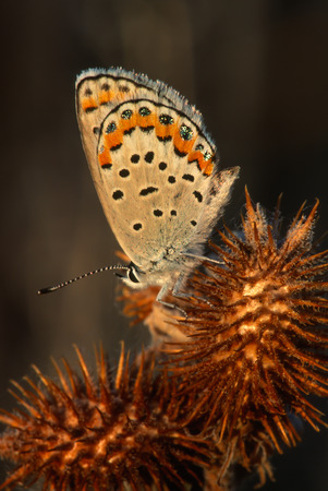 lycaena: Gorgeous macro portrait of a Bronze Copper Butterfly on a large thorny plant. Subject is very brightly lit up by the rays of the setting sun. Beautiful bronze and coppered colored wing tips highlighted by black and iridescent turquoise spots and hairs. Bu
