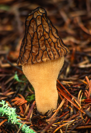 saturated: Forest macro portrait of a Golden Morel Mushroom surrounded by wet saturated colors of the forest floor. Stock Photo