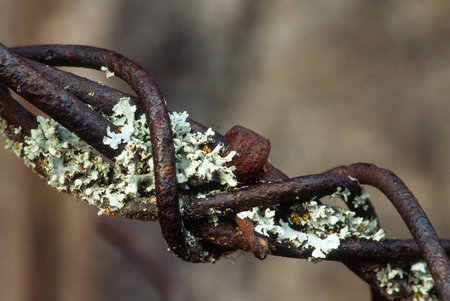 Close up macro landscape of very old rusty barbed wire with lichens growing on it. Barbed wire has very many shades of oxidized colors and the subject is nicely isolated against the background. Stock Photo