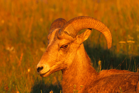 Very close landscape portrait of a young Rocky Mountain Bighorn Ram bathed in the magic light of the setting sun on a gorgeous summer evening. The big Ram has a scare on his upper nose from fighting with other rams. Very vivid detal of the subects face, e Stock Photo