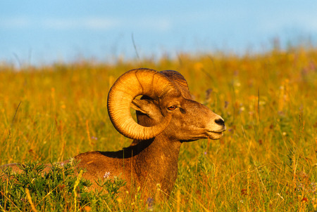 rocky mountain bighorn sheep: Close up landscape portrait of a Rocky Mountain Bighorn Sheep ram bedded down in deep grass. Ram bedded down on a beautiful grassy slope on a gorgeous summer evening. Very saturated colors and detail of the subjects.