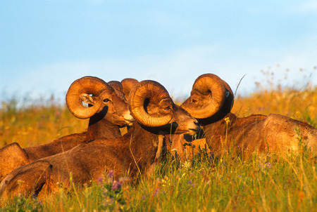 rocky mountain bighorn sheep: Very close landscape portrait of four big Rocky Mountain Bighorn Sheep rams bedded down on a beautiful grassy slope. Subjects are bathed in the magic light of the setting sun on a gorgeous August summer evening. Very saturated and vivid colors.