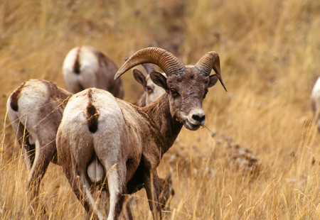 rocky mountain bighorn sheep: Close up landscape portrait of a young Rocky Mountain Bighorn Sheep ram with ewes. The sheep are on a grassy slope and the young ram has grass in his mouth and is looking over its shoulder at the camera.