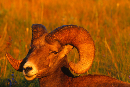 Very close landscape portrait of a large Rocky Mountain Bighorn Ram bathed in the magic light of the setting sun on a gorgeous summer evening. The big Ram has a scare on his upper nose from fighting with other rams. Very vivid detal of the subects face, e Stock Photo