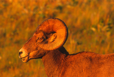Very close landscape portrait of a large Rocky Mountain Bighorn Ram bathed in the magic light of the setting sun on a gorgeous summer evening. Vivid detal of the subects face, eyes and horns.