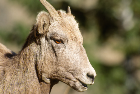 rocky mountain bighorn sheep: Very close tight landscape portrait of a young Rocky Mountain Bighorn Sheep ewe on a clear crisp sunny fall day. Nice detail and lighting on the subjects face and eyes. Beautiful vivid brown eyes. Stock Photo