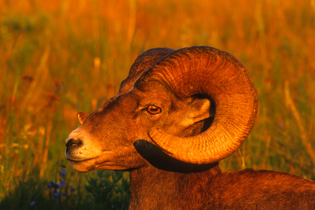 Very close landscape portrait of a large Rocky Mountain Bighorn Ram bathed in the magic light of the setting sun on a gorgeous summer evening. Vivid detail of the subjects face, eyes and horns.