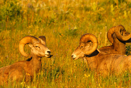 rocky mountain bighorn sheep: Close up landscape portrait of two Rocky Mountain Bighorn Sheep rams bedded down facing each other. Rams are bedded down on a beautiful grassy slope on a gorgeous summer evening. Very saturated colors and detail of the subjects.