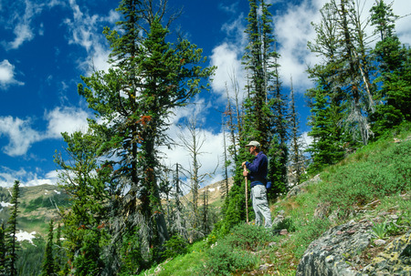 wilderness area: Hiker posing with a walking stick in a high mountainous wilderness area on a very clear early morning summer day. Huge vivid blue sky with white puffy clouds and vivid green high mountain vegetation and trees.