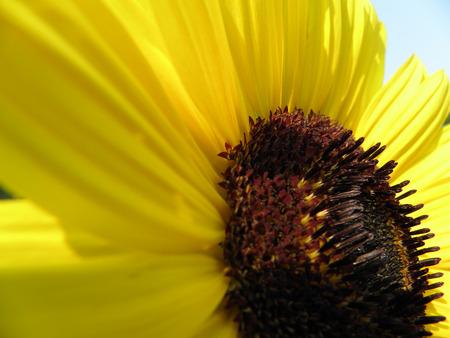 detai: Detai ofl blooming sunflowers